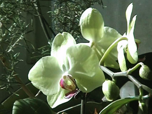 Lime green moth orchid